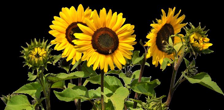 sun-flower-2914972_1920